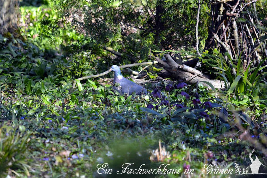 Eine Taube läuft durchs Unterholz und genießt den Frühling.
