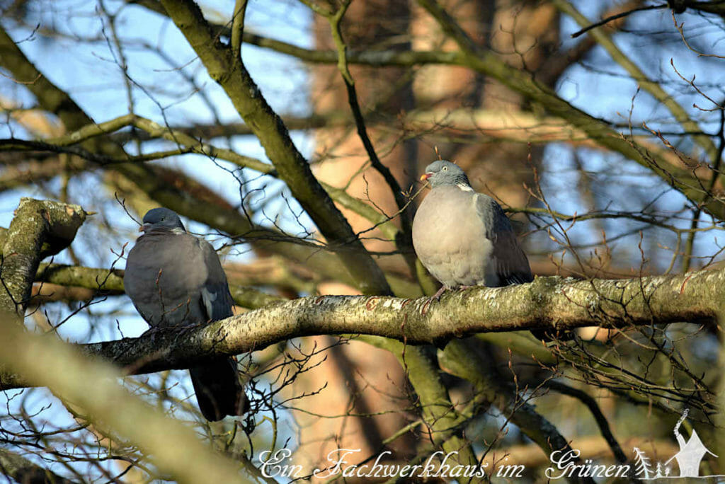 Zwei Tauben in unserem Garten. Sie leben schon seit Jahren hier.