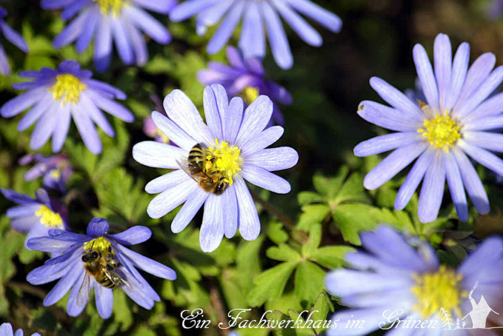 Die Bienen schätzten die Anemone sehr.