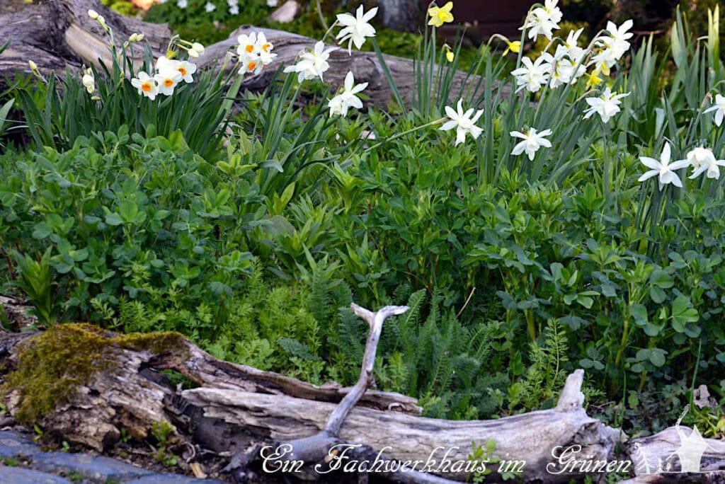 Auch die Narzissen blühen im Frühlingsgarten.