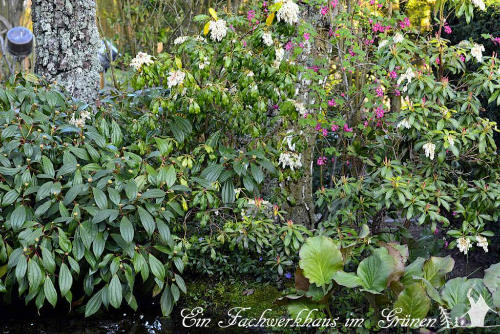 Die Lavendelheide 'Pieris' und die falsche Johannisbeere gehören auch zu den Frühlingsblüher.