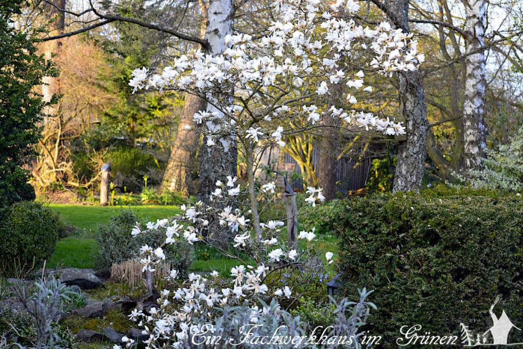 Die Magnolie verzaubert den Frühling mit ihren wunderschönen Blüten und gehört zu den Frühlingsblüherin unserem Garten.