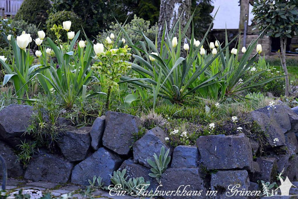 Impressionen aus unserem Garten. Hier erobert die Tulpe Purissima ein kleines Hochbeet.
