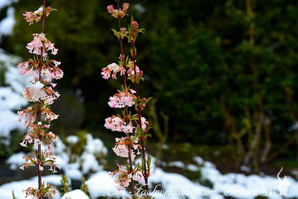Auch der Winterschneeball Charles Lamont gehört zu Frühlingsblüher, die man in unserem Garten findet.