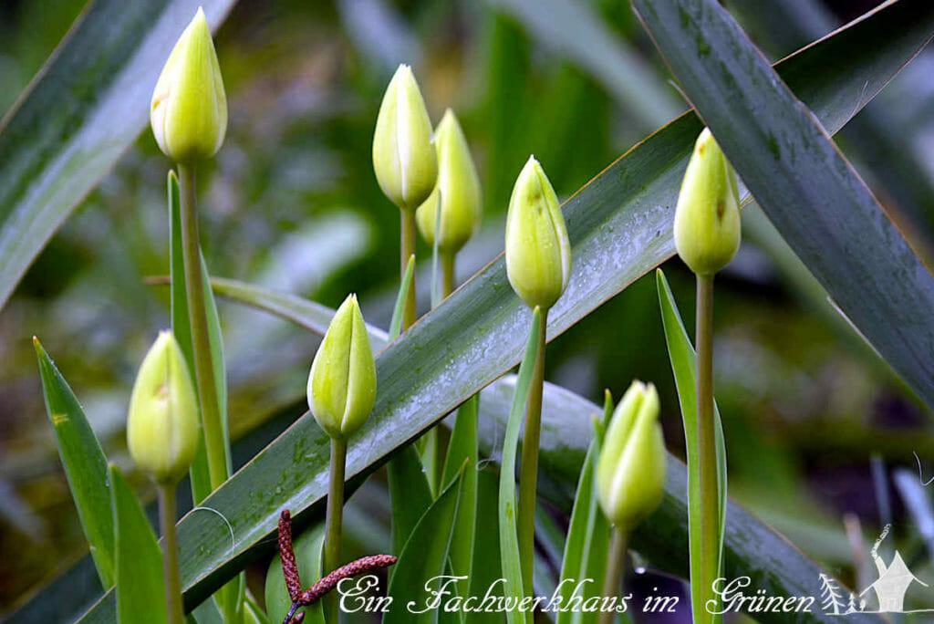 Auch, wenn die Blüten noch geschlossen sind, machen Tulpen eine gute Figur.
