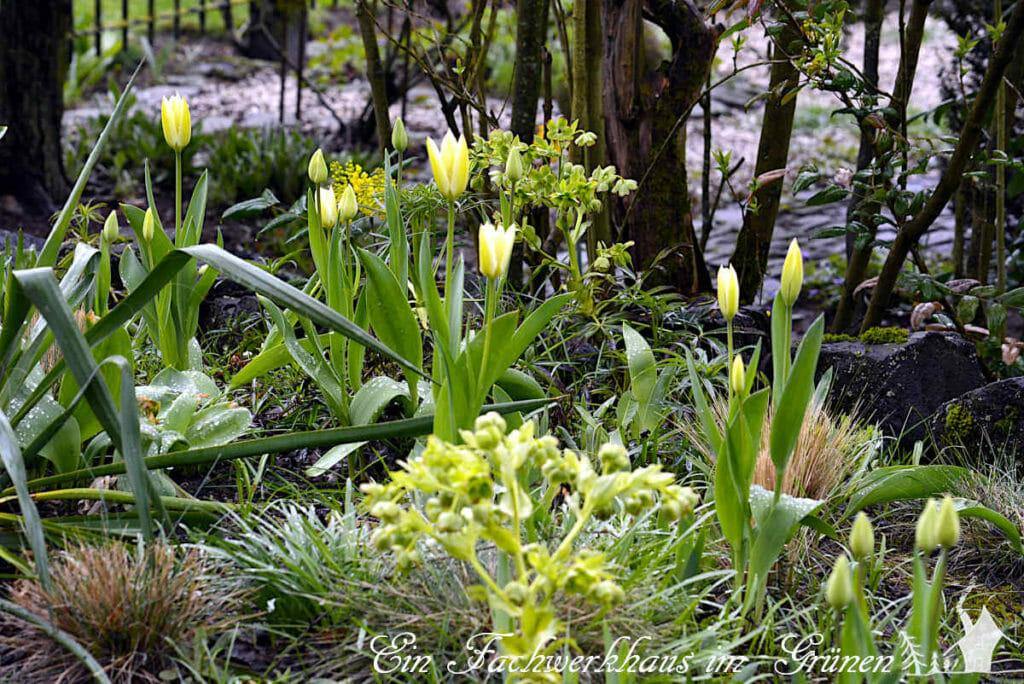 Die Tulpe Purissima in unserem Garten, fängt trotz des winterlichen Wetters mit der Blüte an.