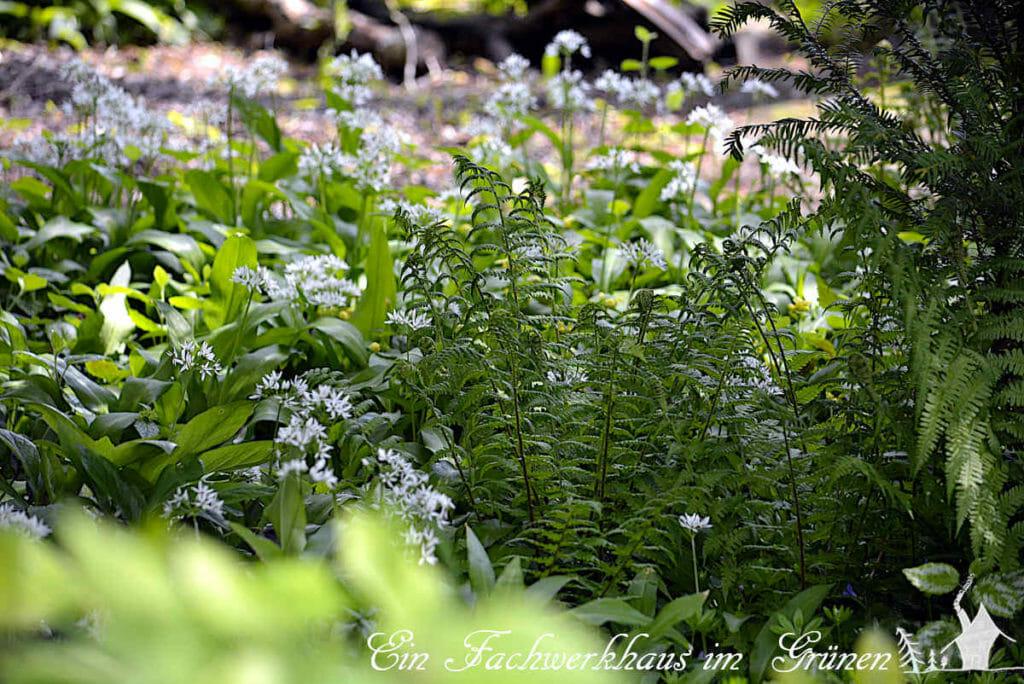 Farne sind als Element der Gestaltung aus einem naturnahem Garten nicht weg zu denken.