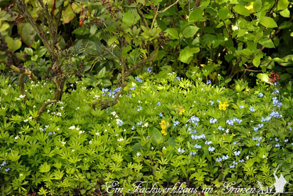 Waldmeister 'Galium odoratum', Schlüsselblume 'Primula veris' und Vergissmeinnicht 'Myosotis' für den naturnahen Garten