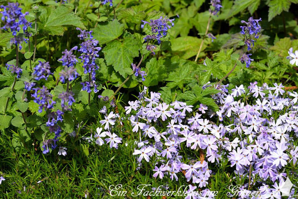 Polsterphlox 'Phlox subulata' und Katzenminze 'Nepeta' in unserem Rosengarten. Eine Kombination aus Blau und Lila.
