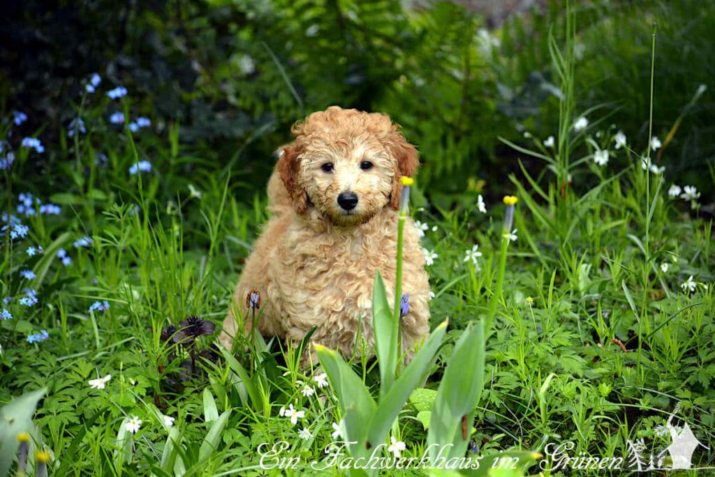Ein junger Pudel entdeckt den Garten.