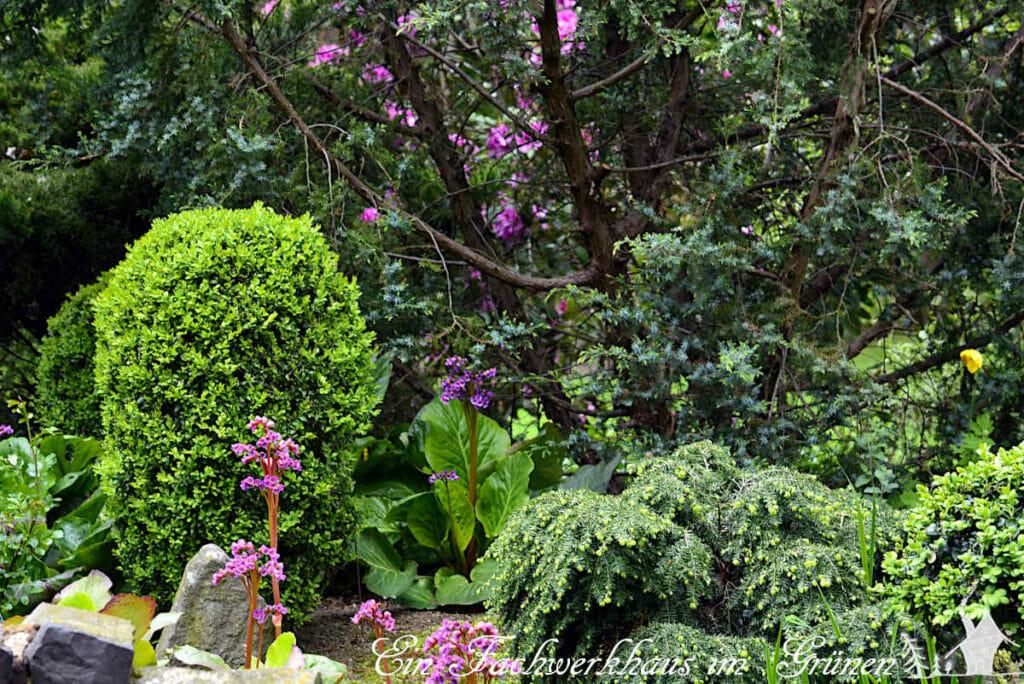 Ein Rhododendron und Bergenien lassen sich kombinieren.