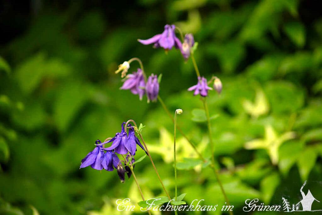 Akelei mit violetten Blüten.
