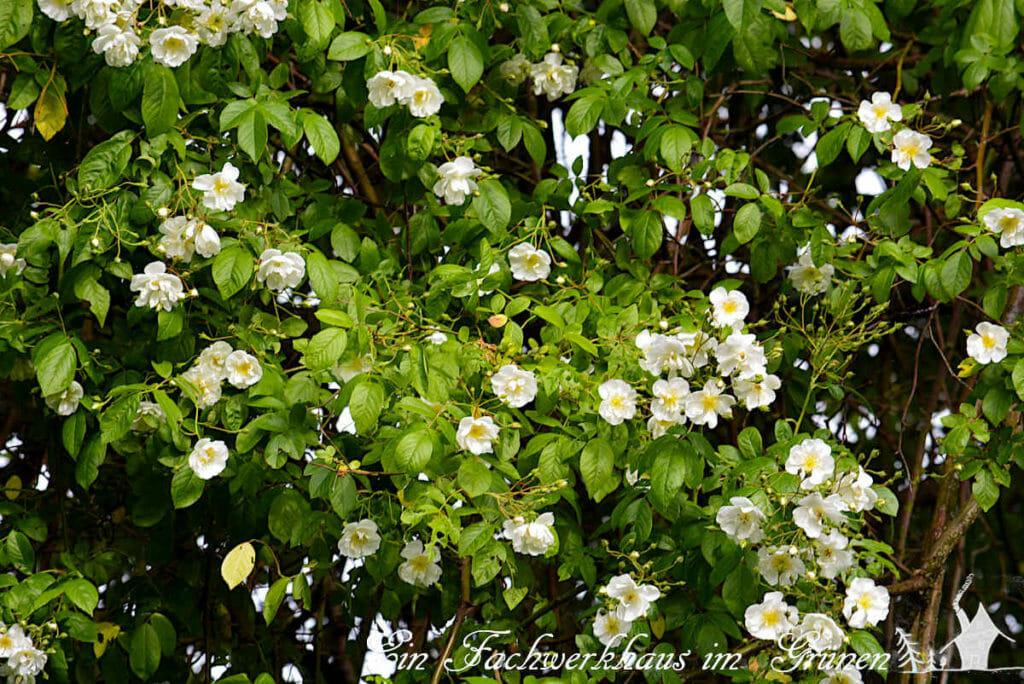 Die Ramblerrose Bobby James zeigt ein wahres Blütenmeer.