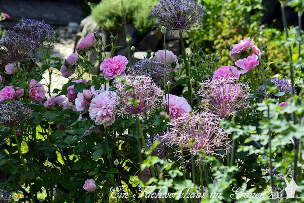 Rosen und Allium, eine perfekte Kombination.