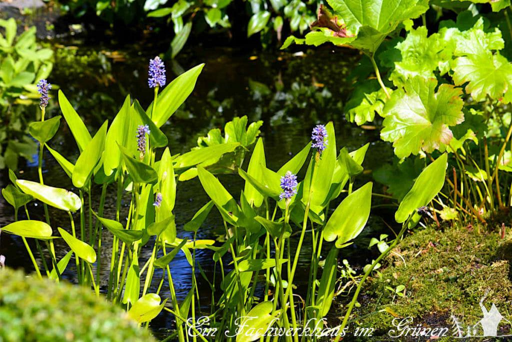Das Herzblättrige Hechtkraut wächst in der Flachwasserzone unseres Gartenteichs.