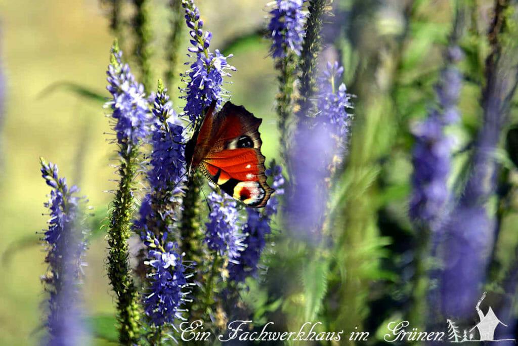 Das Tagpfauenauge gehört zu den sehr schönen Schmetterlingen.