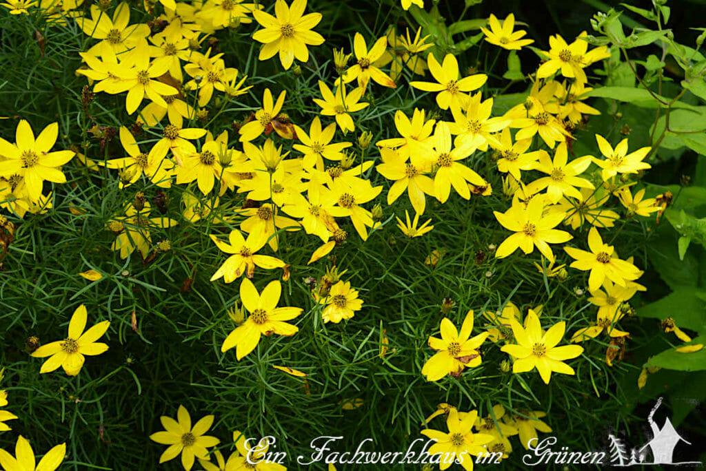 Coreopsis pulchra in unserem gelben Beet. Ein echter Hingucker.