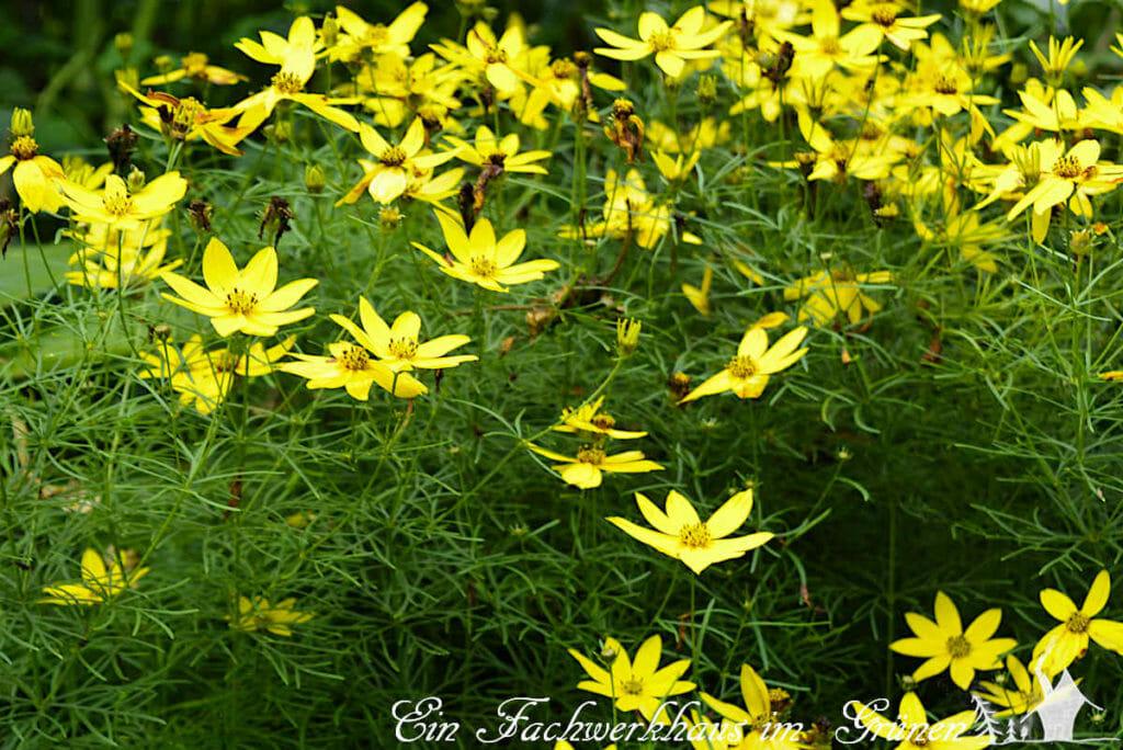 Coreopsis pulchra im gelben Staudenbeet.