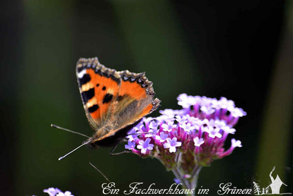 Das Patagonische Eisenkraut ist bei Bienen und Schmetterlingen beliebt.