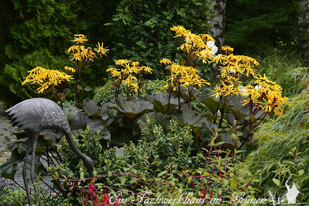 Der Goldkolben in unserem Garten.